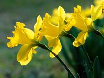 Delightful_daffodils_small